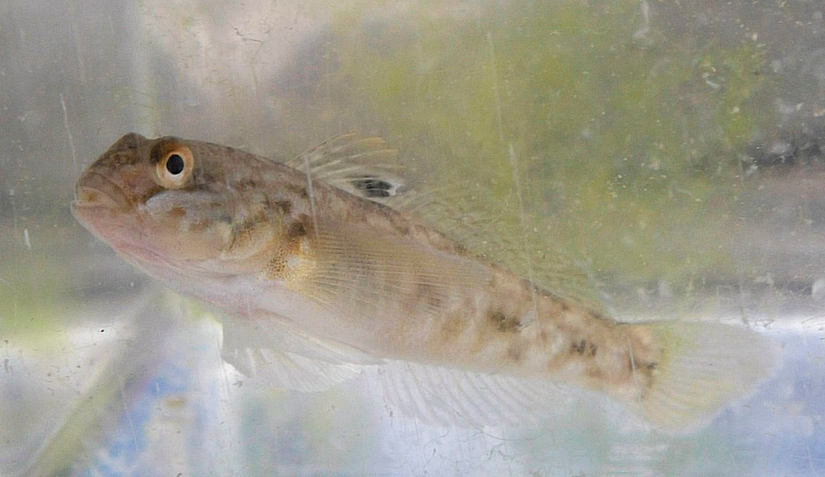 The Round Goby originates in the Caspian Sea and is thought to have hitchhiked in the bilge of a ship into the Great Lakes. The fish was first reported in the Great Lakes in 1990.