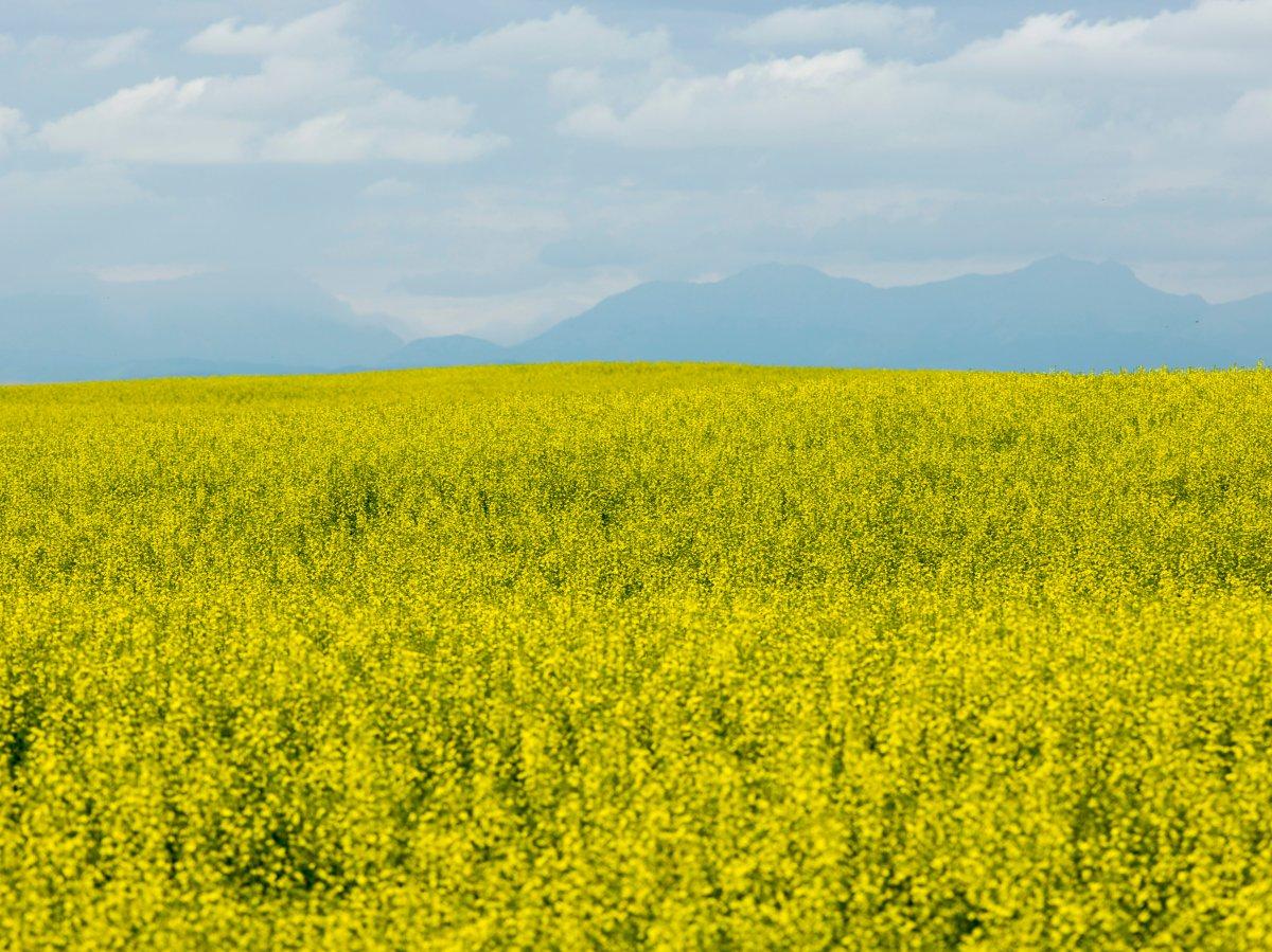 A field of canola in bloom.