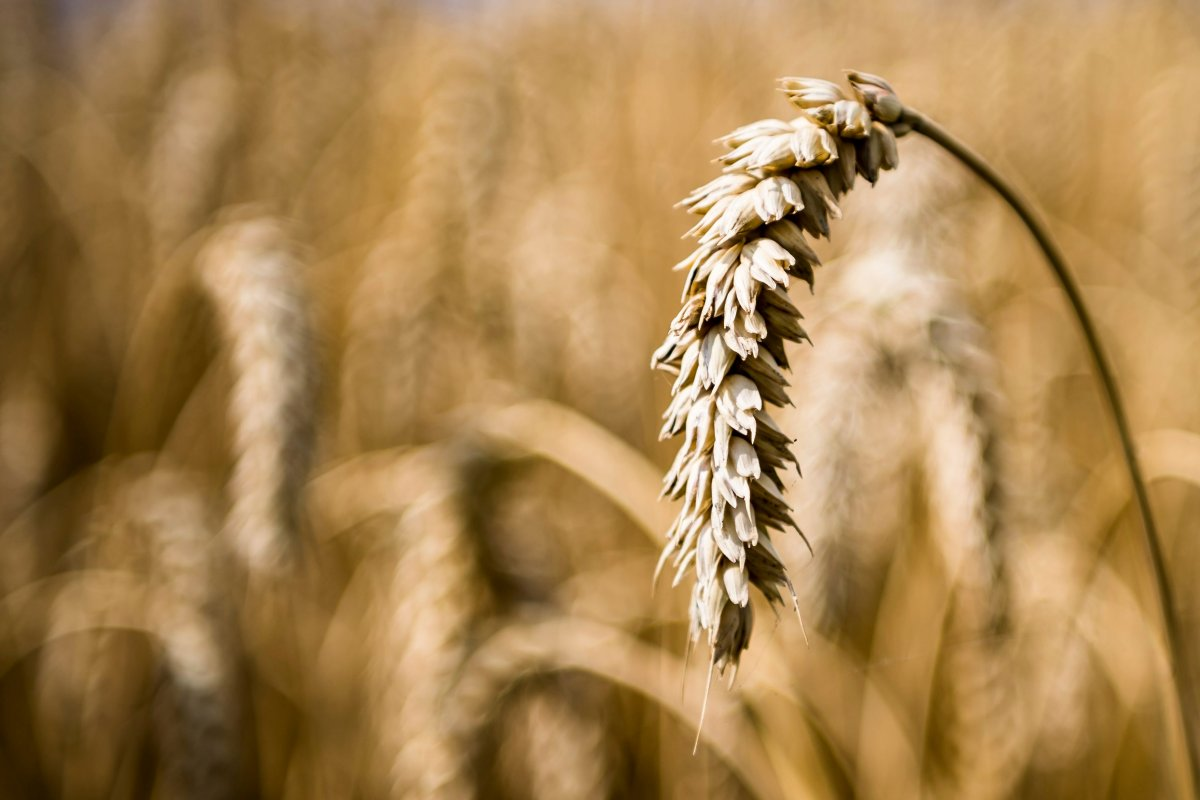 An ear of wheat is visible in  in a farmer's field suffering from drought.