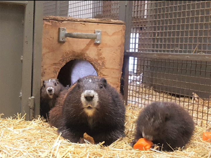 The Calgary Zoo announced on Thursday, July 25 that five Vancouver Island marmot pups were born at the Devonian Wildlife Conservation Centre.