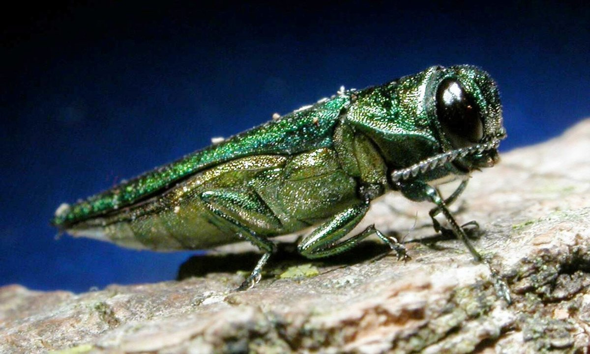An adult emerald ash borer is shown in this photo released by Michigan State University.