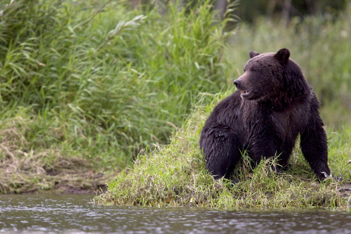 A grizzly bear is seen fishing along a river in Tweedsmuir Provincial Park near Bella Coola, B.C. on Sept 10, 2010. : A pair of Americans on a canoe trip in the Northwest Territories had to be rescued this week from an aggressive grizzly bear.