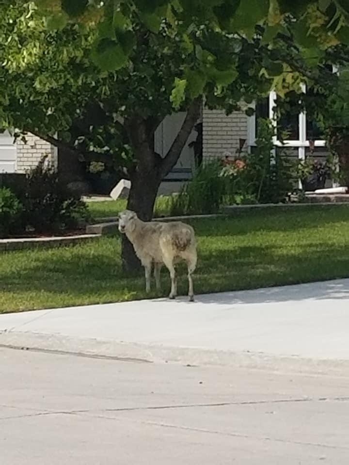 A sheep seen running through southeast Winnipeg Thursday has made it safely home, according to a city spokesperson.