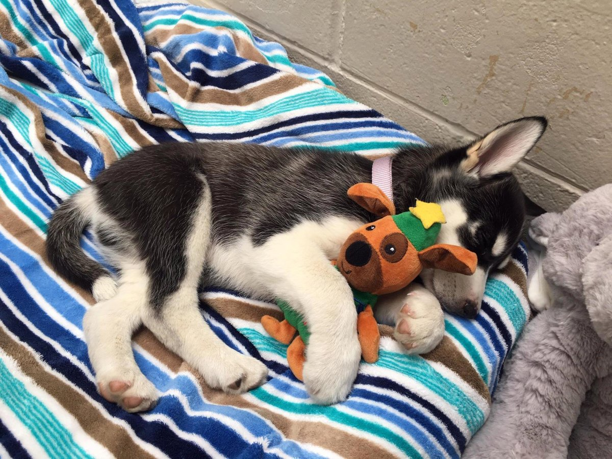 Eleven-week-old puppy Bear became sick after consuming cannabis in Vancouver last week.