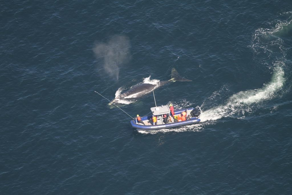 Crew members attempt to disentangle a whale in the Gulf of St. Lawrence in a handout photo.