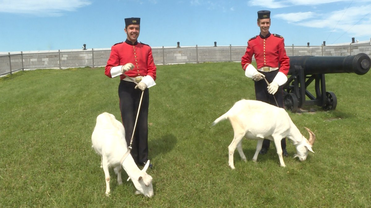 Henrietta and David the goat having lunch at Fort Henry.