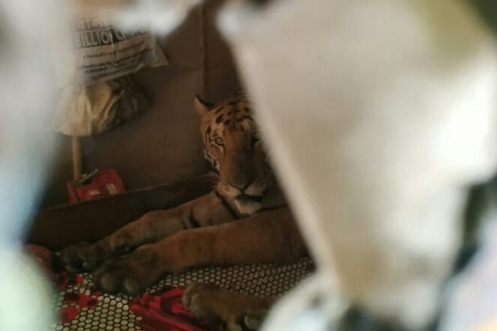 A tiger is shown inside a house near Kaziranga National Park in Assam, India on July 18, 2019.
