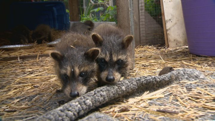 Rabies is still circulating among wildlife in the city according to Hamilton Public Health despite a drop in positive test cases, year over year.