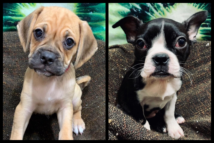 These two dogs were stolen from a Calgary pet store early Saturday morning.