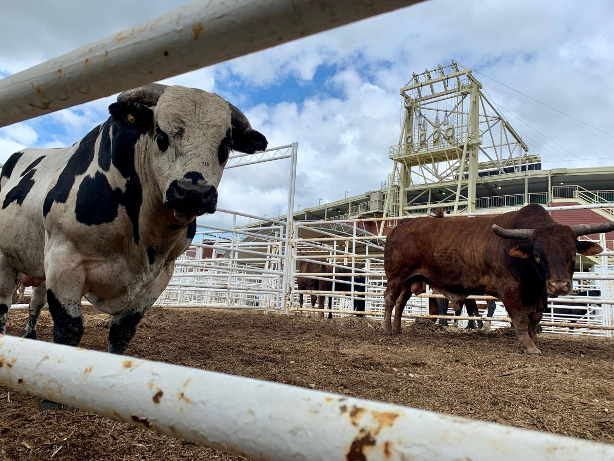 The University of Calgary is studying stress and injuries in Calgary Stampede bucking bulls in hopes of minimizing risk to animals.