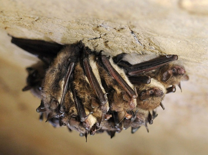 A cluster of bats hibernate in this 2011 photo. This week, B.C.'s Got Bats? program announced it has received a funding boost, which will allow it to boost bat conservation.