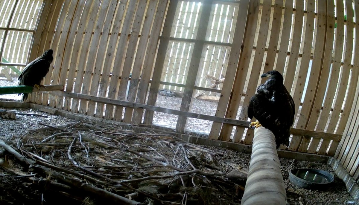 Image of the two rescued eaglets at the Cobequid Wildlife Rehabilitation Centre.