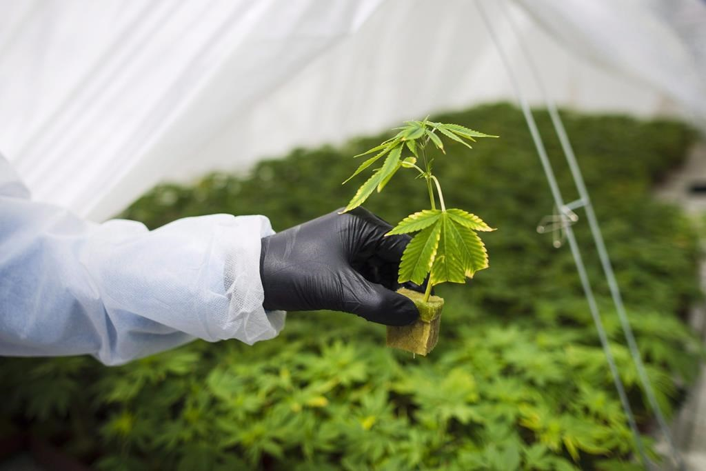 The root system from a cannabis cutting is photographed at the CannTrust Niagara Greenhouse Facility in this file image.