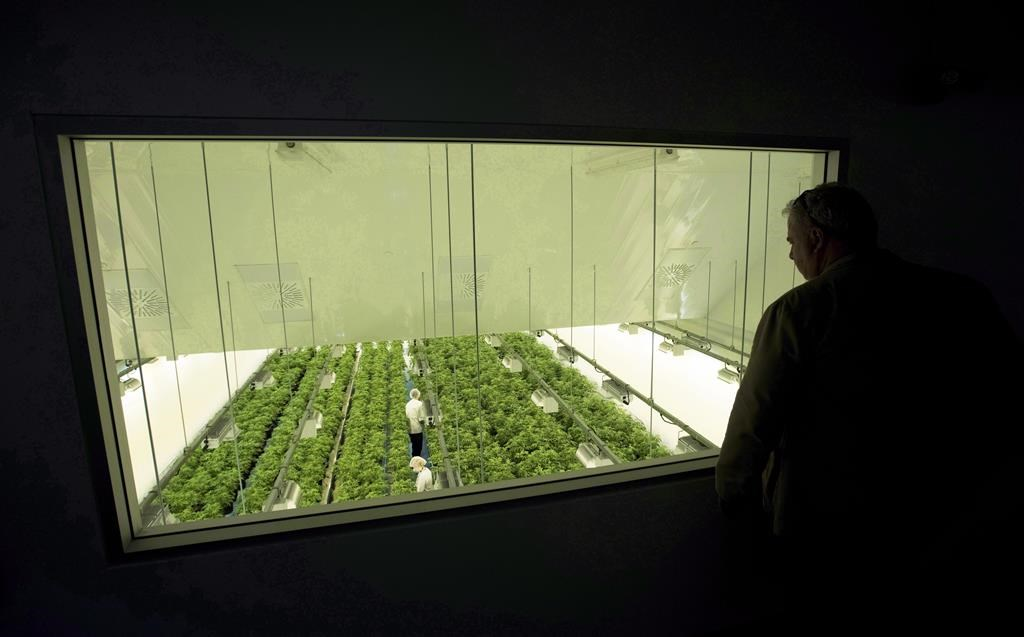 Staff work in a marijuana grow room that can be viewed by at the new visitors centre at Canopy Growth's Tweed facility in Smiths Falls, Ont. on Thursday, Aug. 23, 2018.