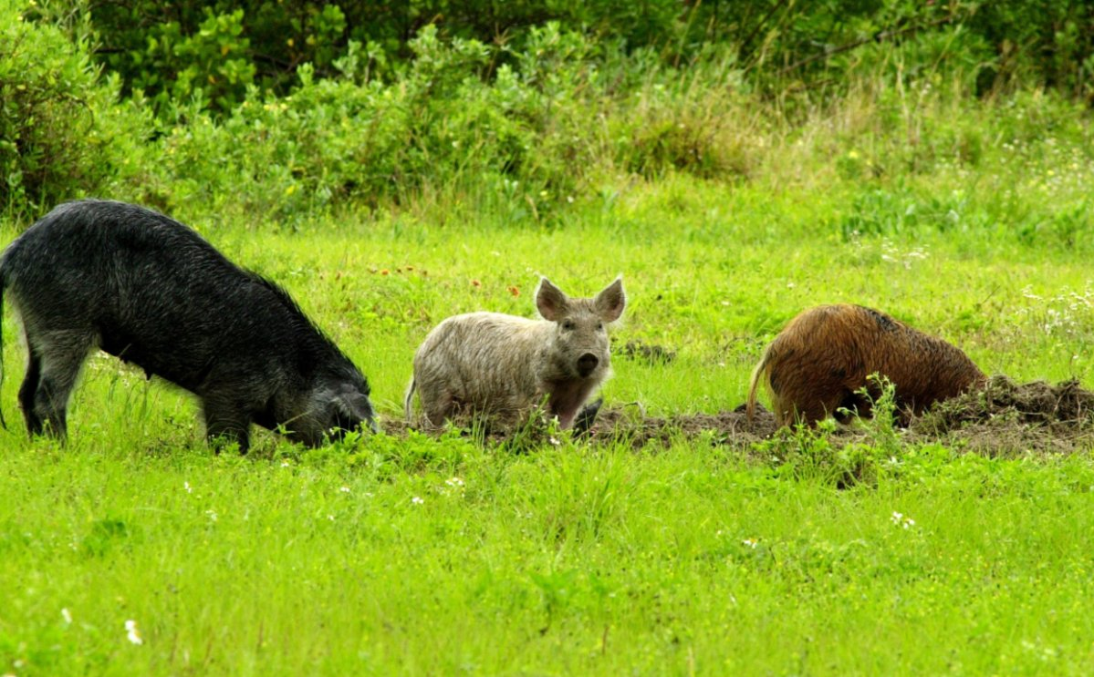 Why '30-50 feral hogs' have hijacked the U.S. gun reform debate - image