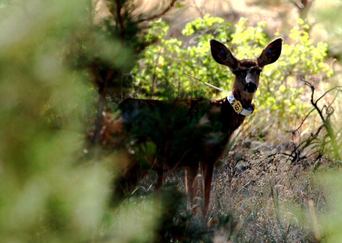 Over the past few years, CWD has made its way through elk and deer populations in multiple Canadian provinces.