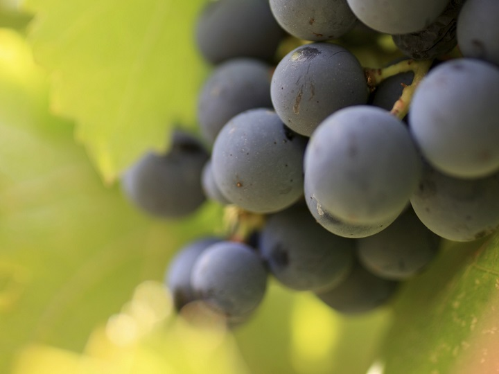 It's a problem plaguing grape growers worldwide in an ever-changing climate, to protect their crops from the undesirable effects of wildfire smoke exposure.