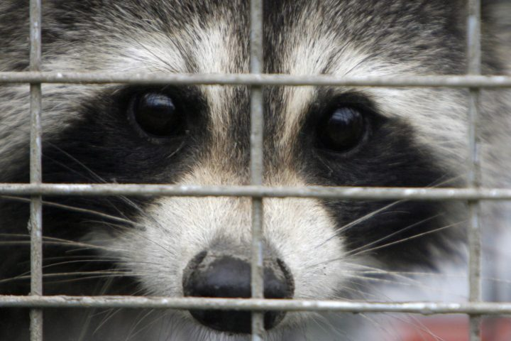 A captured raccoon peers through the bars of a trap in this file photo from Sept. 26, 2007.