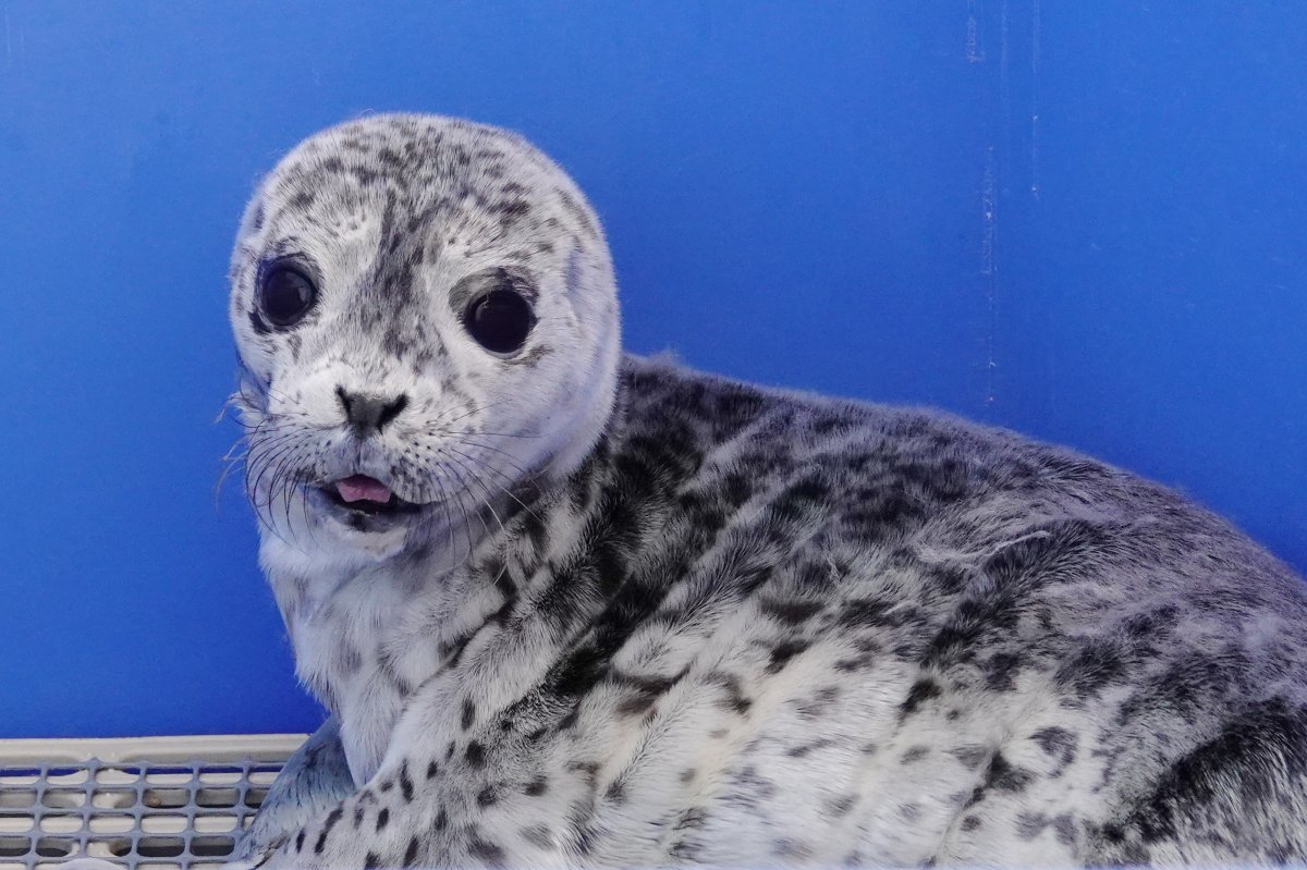 """""""Shellen Degeneres,"""" one of dozens of seal pups that have been unnecessarily disturbed by humans before being brought to the Vancouver Aquarium Marine Mammal Rescue Centre for rehabilitation."""