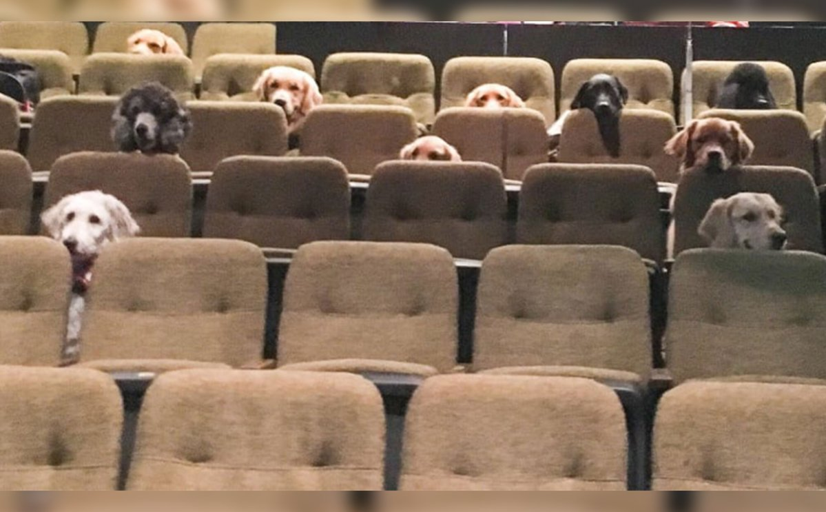 A group of service dogs sat in the audience during a performance of Stratford Festival's 'Billy Elliot'.