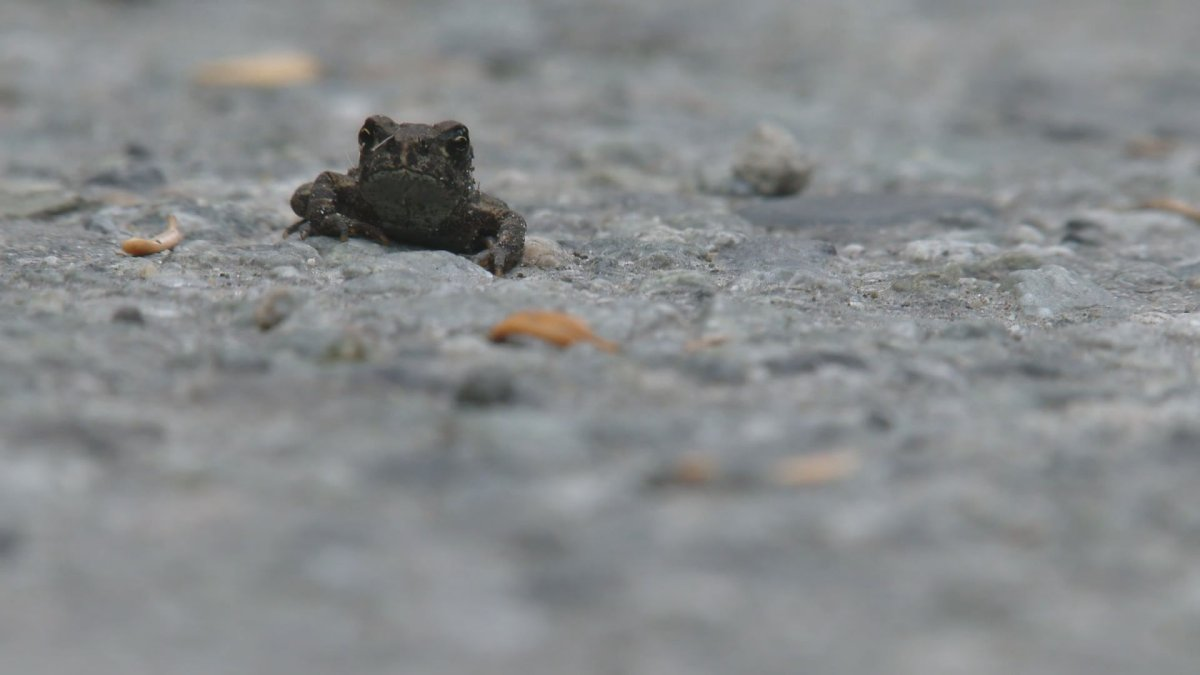 One of tens of thousands of toadlets that have begun to migrate at Whistler's Lost Lake Park.