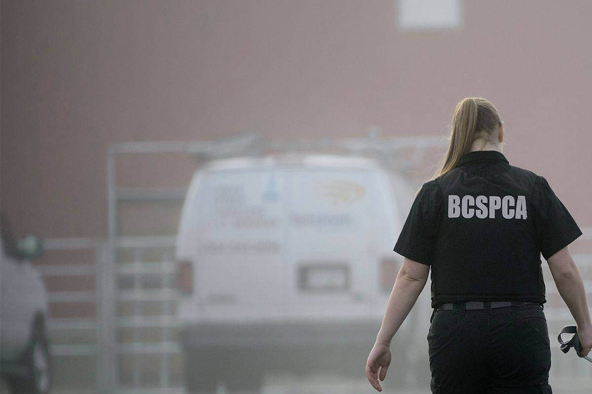 The BC SPCA is now investigating along with Oceanside RCMP.