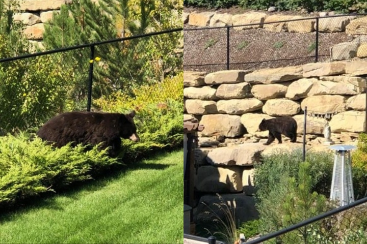A black bear was spotted behind homes along Aspen Stone Court S.W.