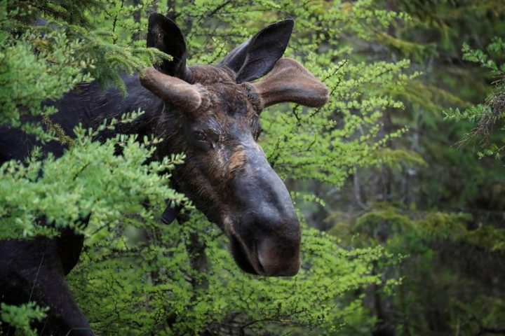 Moose forced to swim back across B.C.'s Okanagan Lake, police say - image