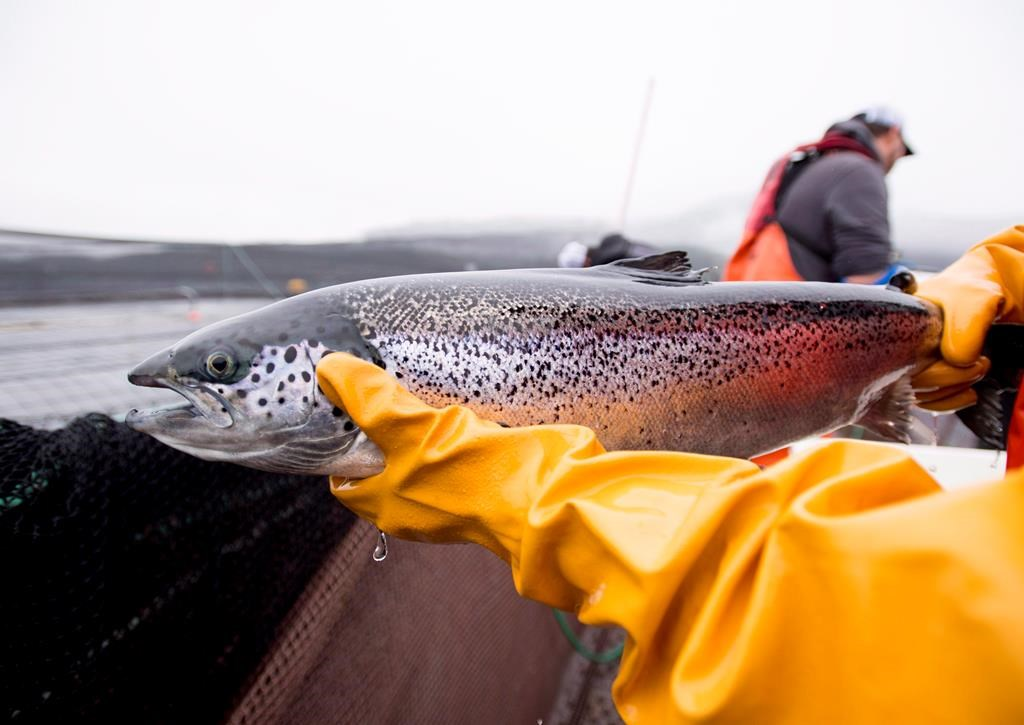 An Atlantic salmon is seen during a Department of Fisheries and Oceans fish health audit at the Okisollo fish farm near Campbell River, B.C.