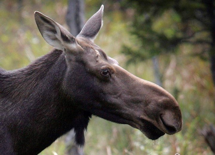 A moose stands in a clearing in Franconia, N.H. in an Aug.21, 2010 file photo.
