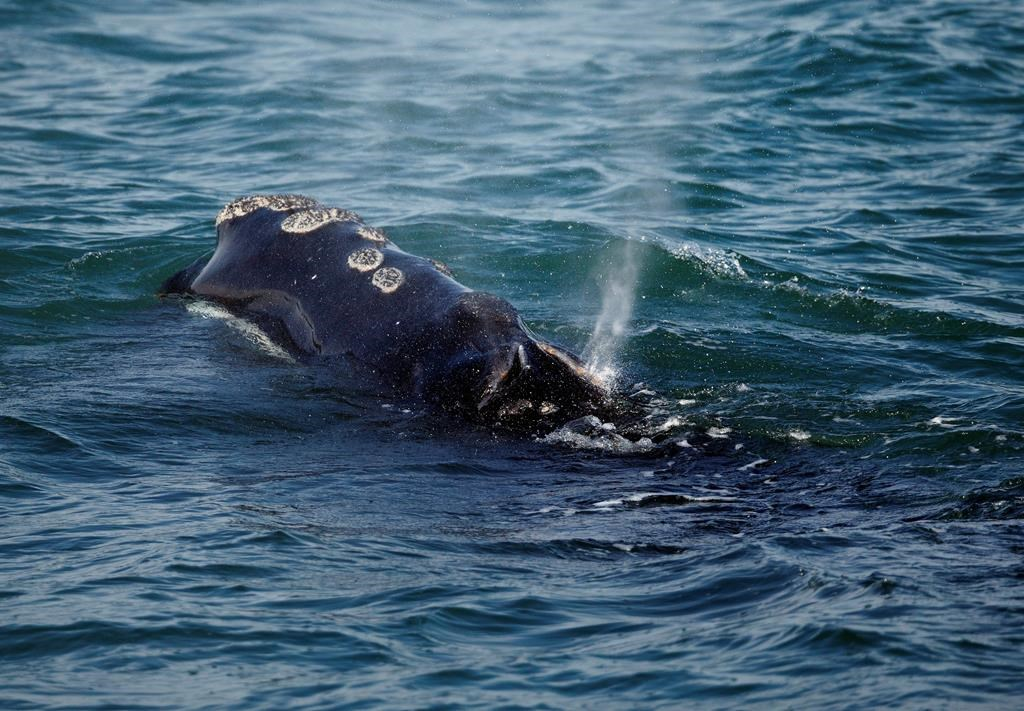 A North Atlantic right whale feeds on the surface of Cape Cod bay off the coast of Plymouth, Mass., Wednesday, March 28, 2018. Massachusetts' attorney general is calling for political leaders in eastern North America to commit to stronger protections of critically endangered North Atlantic right whales.