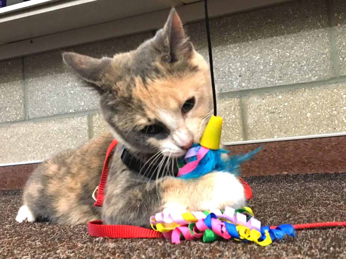 A seven-month-old cat plays outside the Edmonton Animal Care and Control facility after she was found with a rubber band around her neck and embedded in her skin.