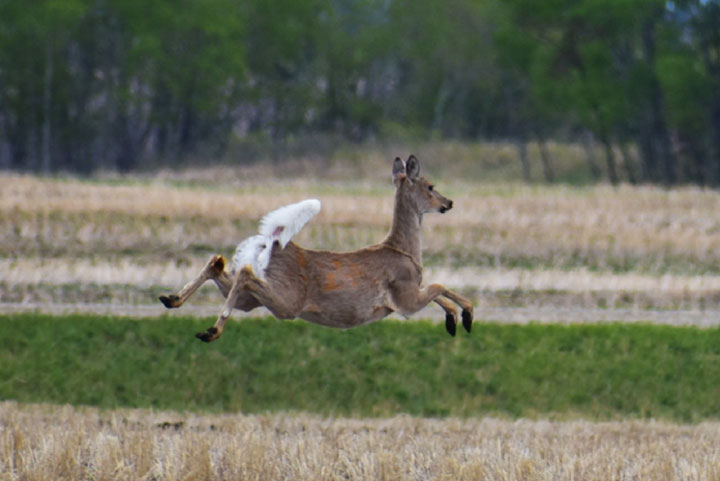 Long-term monitoring sites are being established in targeted zones to obtain more information about the presence and spread of CWD in Saskatchewan.