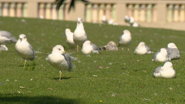Adult and maturing seagulls are flocking in large groups as they prepare for their annual migration.
