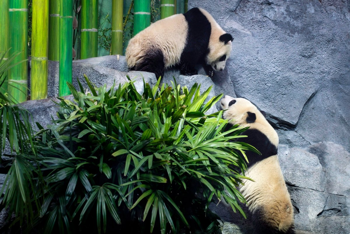 Panda bear cubs Pan Pan and Yue Yue are expected to leave the Calgary Zoo for China in early 2020.