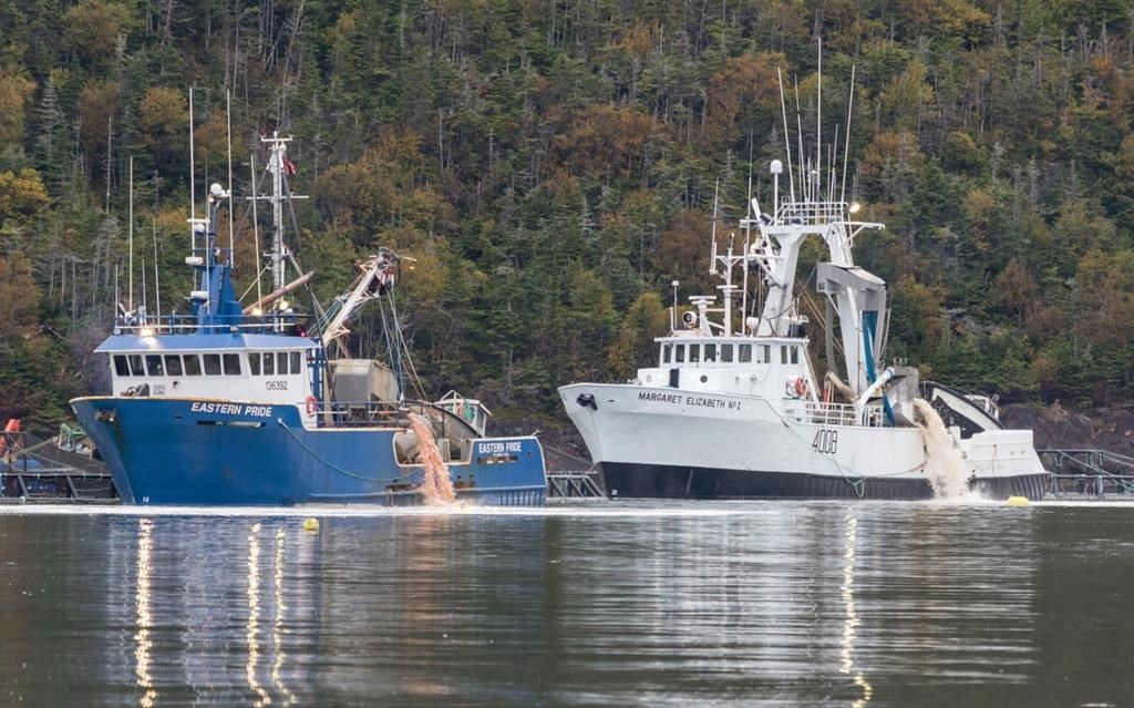 Pink residue is disposed into Fortune Bay in southern Newfoundland on Oct. 2 as part of a cleanup following salmon deaths at a fish farm last month.