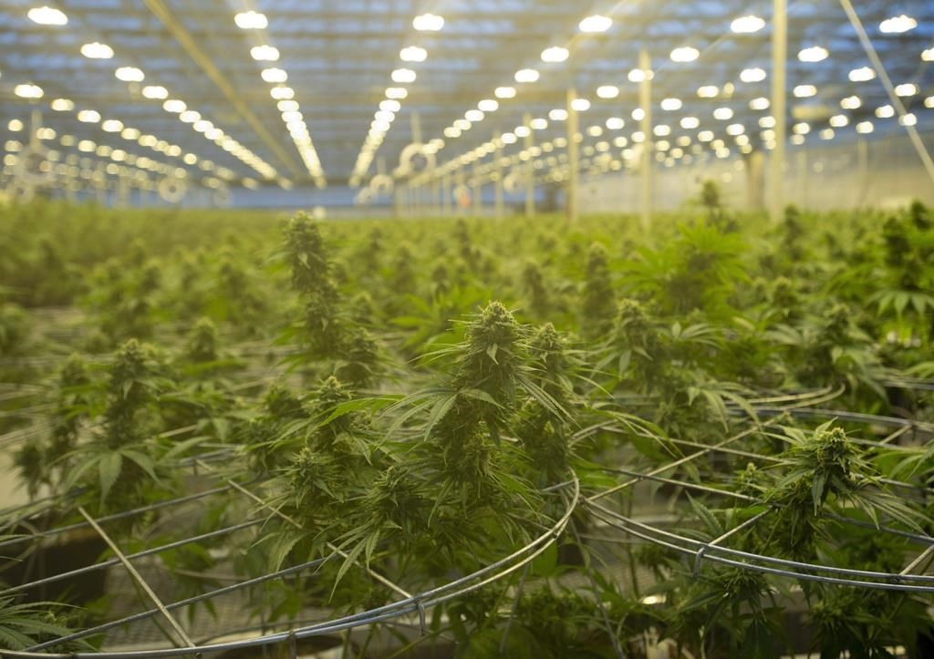 Cannabis plants are seen during a tour of a Hexo Corp. production facility, October 11, 2018 in Masson Angers, Que.