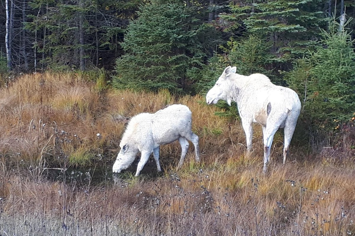 These two moose were spotted at the side of the road between Timmnis and Chapleau, Ont., on Oct. 17, 2019.
