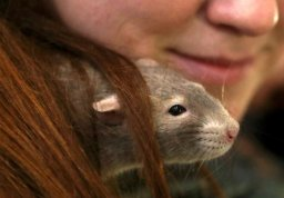 Continue reading: Woman catches 'rat-bite fever' from pet rat, develops serious rash, infection