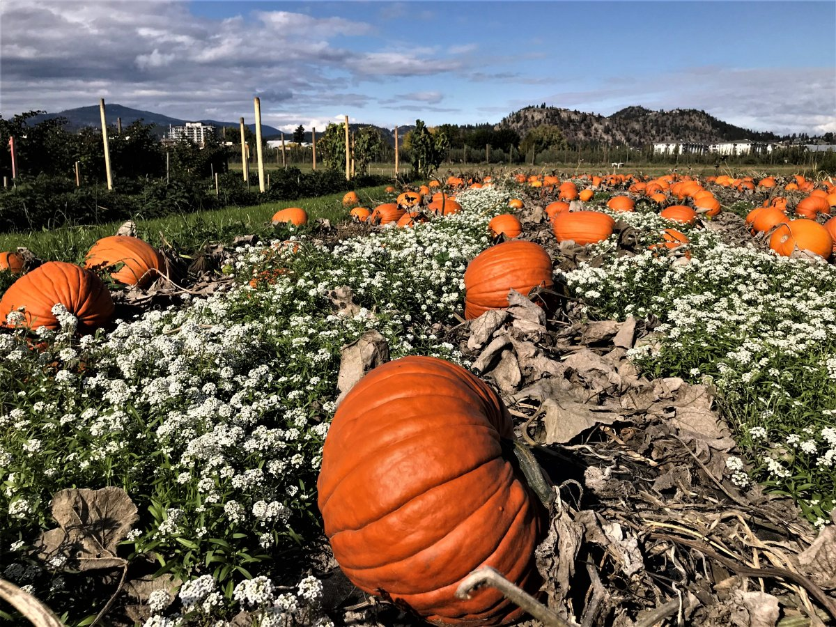 Erin Anderson from Langley's Eagle Acres Pumpkin Patch says it's been a hard year to be a pumpkin farmer in Metro Vancouver. File/Global News.