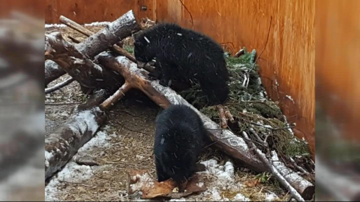 Saskatoon zoo officials say three orphaned black bears have put on weight and have thicker coats in time for winter hibernation.