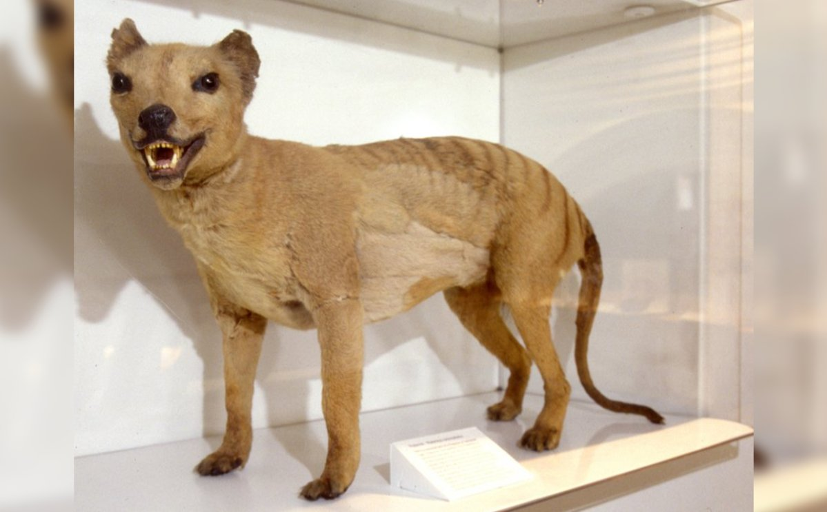 A thylacine specimen is on display in the biodiversity gallery of the Australian Museum.