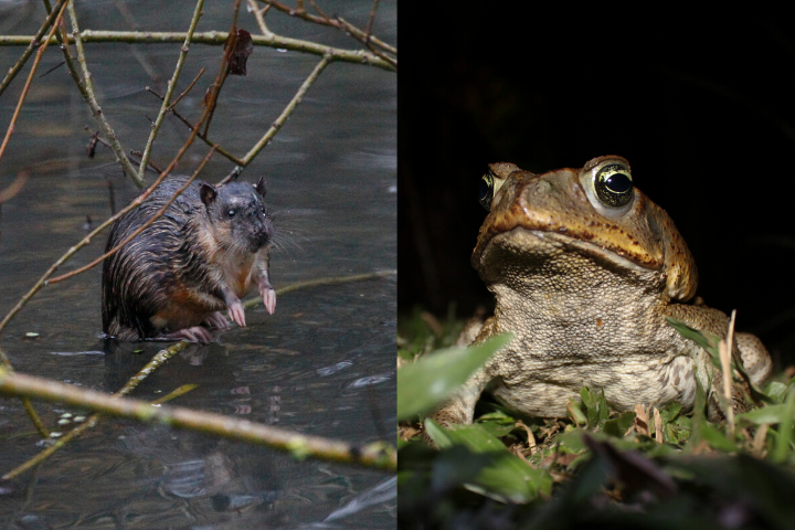 A spliced picture of an Australian water rat and cane toad.