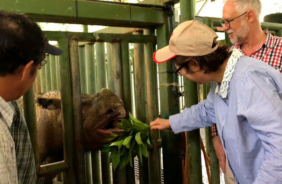 """In this Aug. 18, 2019, photo, Sabah Deputy Chief Minister Christina Liew, right, looks at rhino """"Iman"""" in cage in eastern Sabah state."""