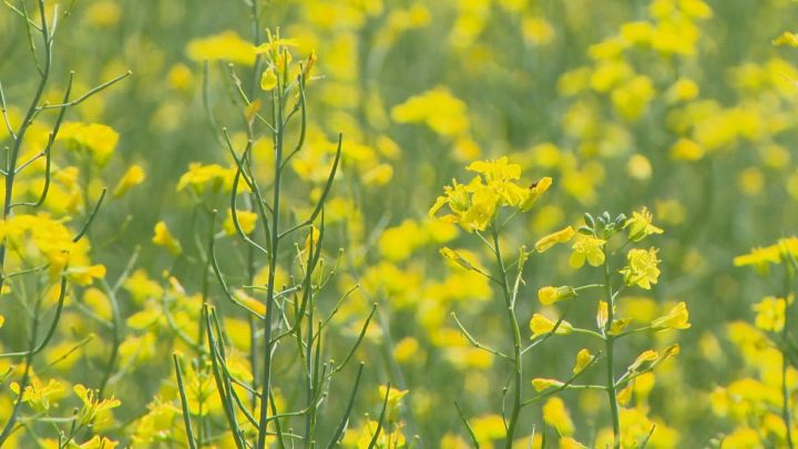 China lifting meat ban 'a good first step' for canola: producers association