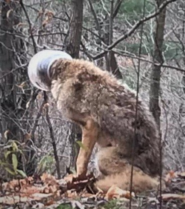The Oakville and Milton Humane Society is trying to assist a coyote with its head stuck in a container.