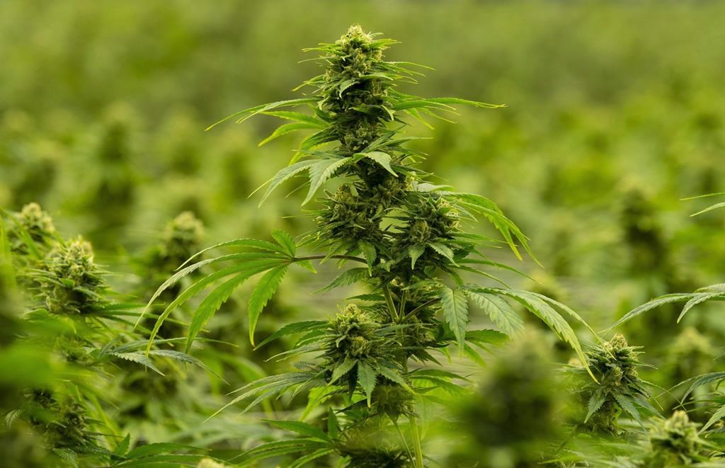 The Town of Altona will hold a plebiscite over whether or not to allow cannabis sales in May.