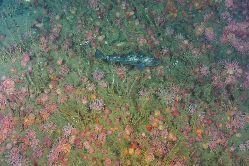 An Atlantic cod is shown in an anemone field in this undated handout photo. THE CANADIAN PRESS/HO - Canadian Scientific Submersible Facility/ROPOS, Oceana Canada and Fisheries and Oceans Canada.
