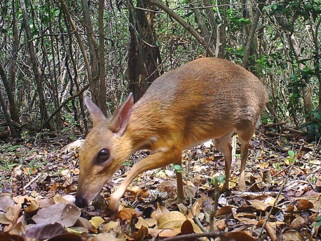 The fanged mouse-deer thought to be extinct for 30 years was spotted in Vietnam.