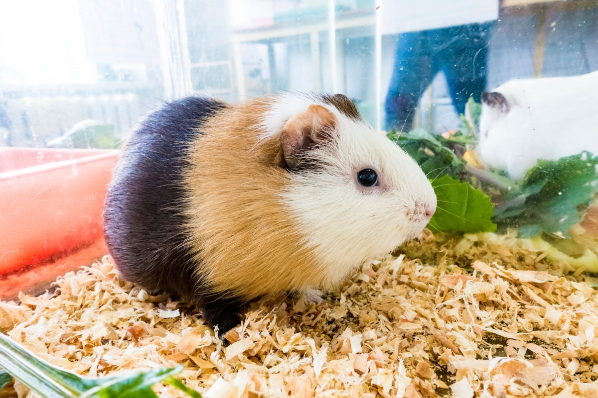 A pet show owner says two suspects threw a stolen guinea pig at him.